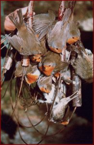Robins in traps